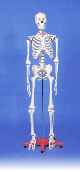Medium Size Skeleton Drawing Manikin 33.5 Inch